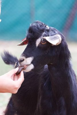 A Male Goat Enjoys a Deworming Molasses Treat