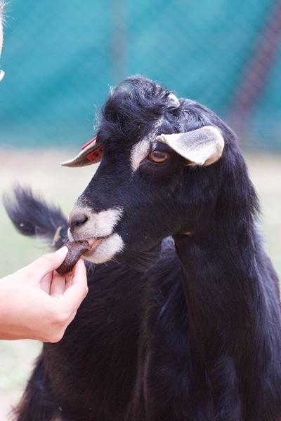 A Male Goat Enjoys a Deworming Molasses Treat