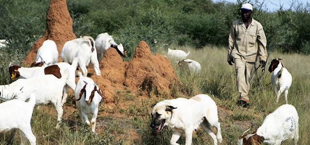 Livestock Guarding Dog Program in Action