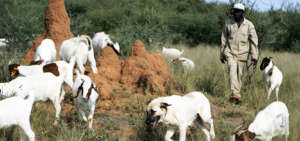 Livestock Guarding Dog Program in Action