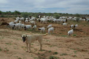 Livestock Guarding Dog with goats