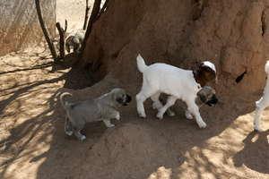 Livestock Guarding Dog-to-be