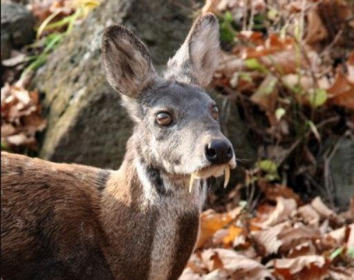 Musk deer (c) Dale Miquelle