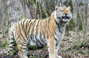 Save Wild Tigers of Sikhote-Alin