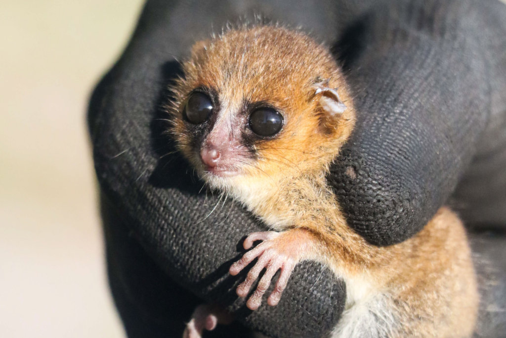 Protect a brand new mouse lemur in Madagascar!