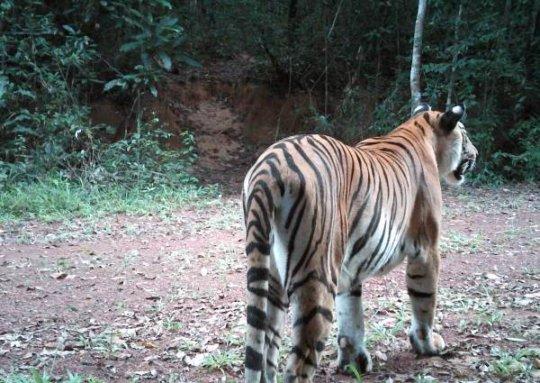 A rare tiger caught on camera trap in Thailand