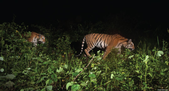 Rare Indo-Chinese tigers caught on camera