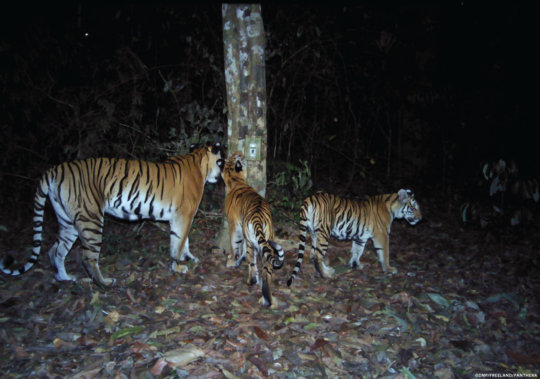 Mother and cubs check the camera traps