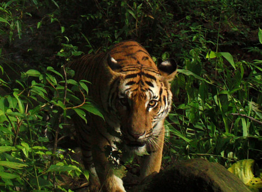 Stunning camera trap of rare Indo-Chinese tiger