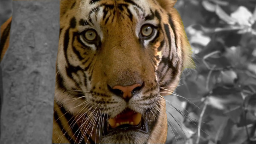 Protecting Tigers in Thailand