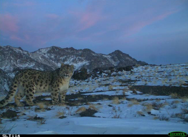 Snow Leopards of Mongolia