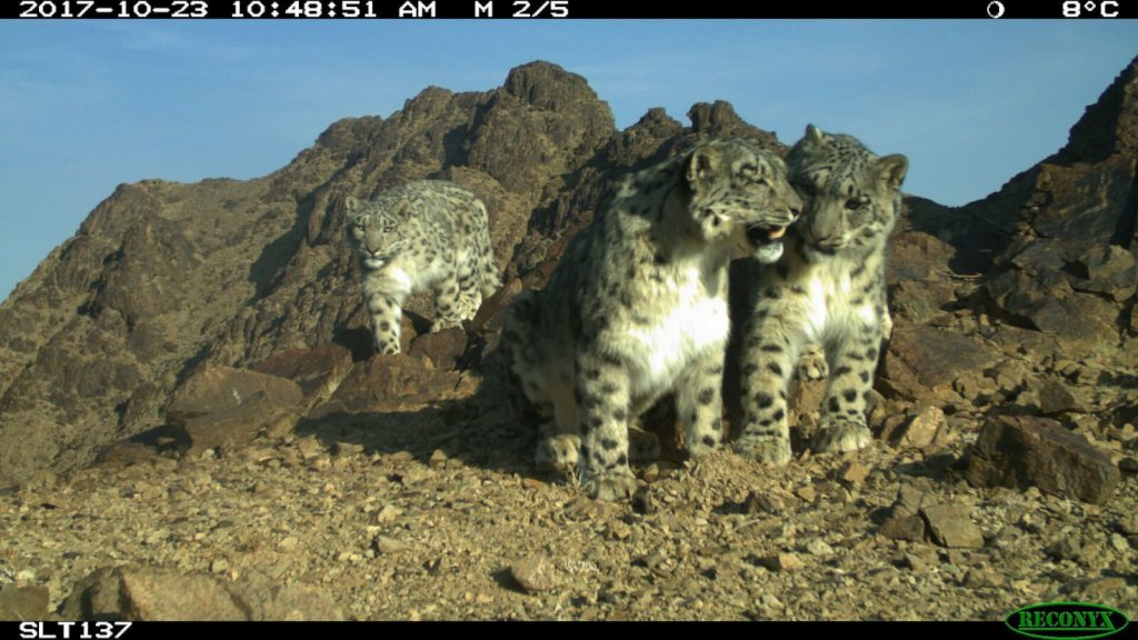 Snow leopard and two cubs. SLT/SLCF Mongolia
