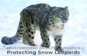Snow Leopards of Mongolia