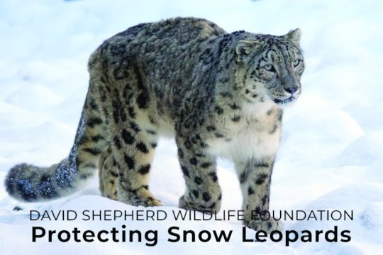 Protecting Snow Leopards