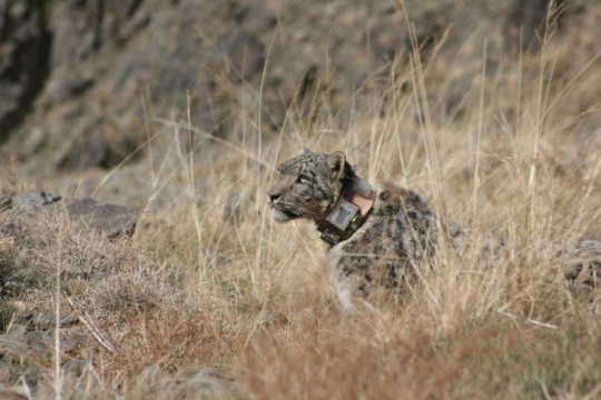 Collared snow leopards are vital to understanding