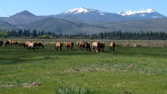 Horses rotating to new dry land pasture