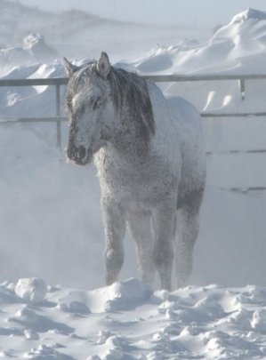 Blind, black stallion in the snow without shelter