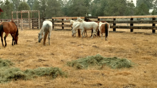 Choctaw horses at RRR satellite ranch