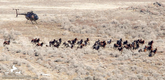 Helicopter drives wild horses toward a trap