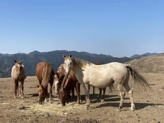 Hope with Galahad's band of mares in SLO