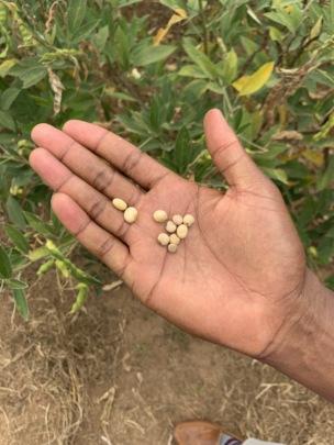 A farmer plans to plant beans as a companion plant