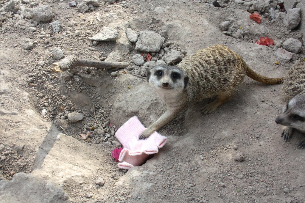 Give a meerkat those winter clothes