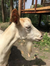 One of our mature, milking goats
