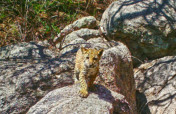 Project Wildcat: Save Endangered Jaguars in Mexico