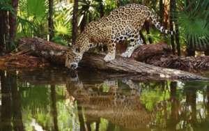 Jaguar on our Peru project