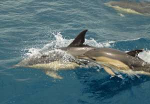 Dolphin mother and calf on our Azores project
