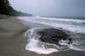 Leatherback turtle coming to nest in Costa Rica