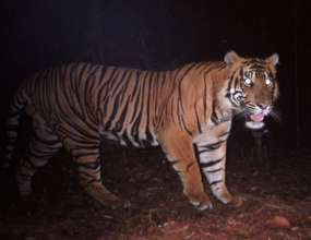 Tiger on our Sumatra project