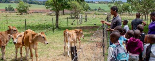 Children gazing at the calves