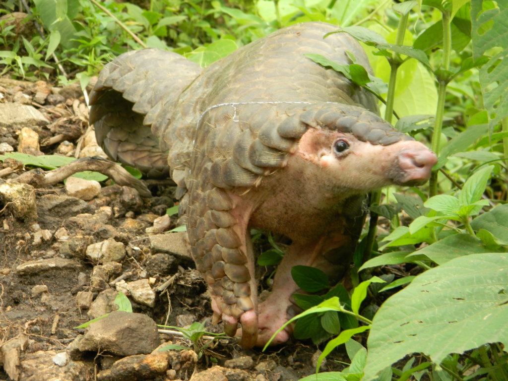 Save Pangolins from the Illegal Wildlife Trade