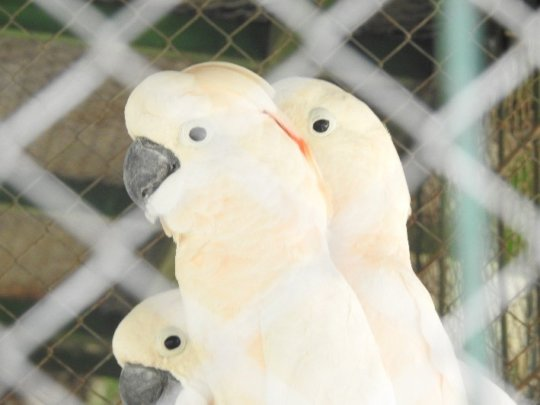 Citron-crested cockatoos