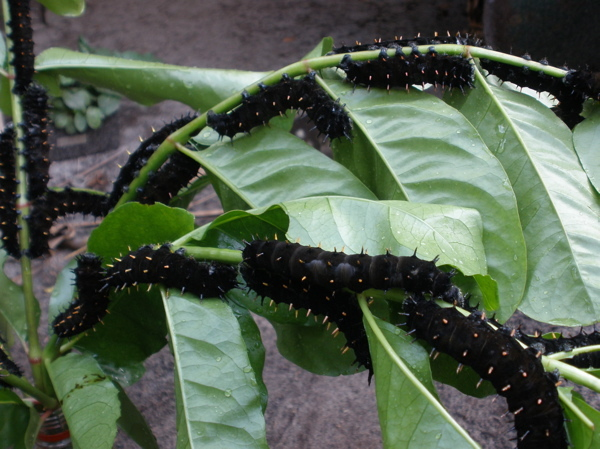 New color for suraka larvae - same species, a new adaptation?  W