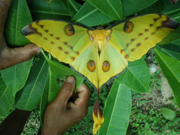 Comet moth recently emerged from cocoon.
