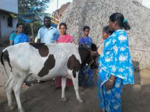 Cow rearing training