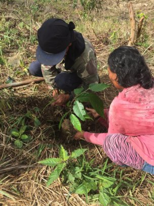 Planting cacao