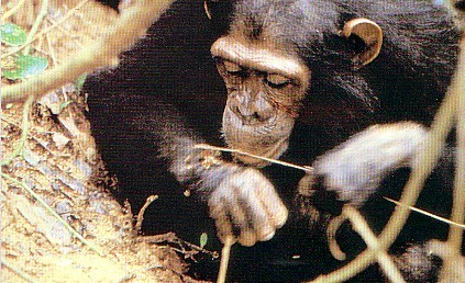 Reports on You can give 140 orphaned chimpanzees a safe