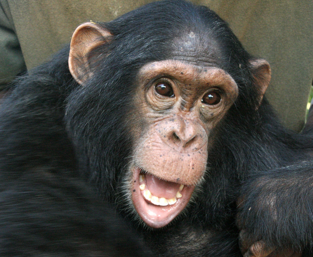 You can give 140 orphaned chimpanzees a safe haven