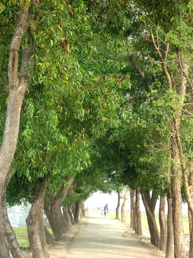 Bangladesh Roadside Tree Plantation