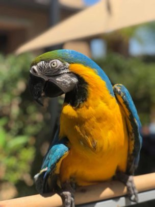 Allie - Blue and Gold Macaw