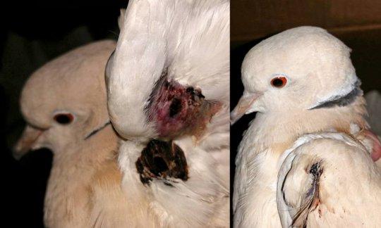 Dennis (ringneck dove). Pellet gun victim.