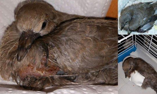 Harlow (Eurasian Collared Dove). Wing amputation.