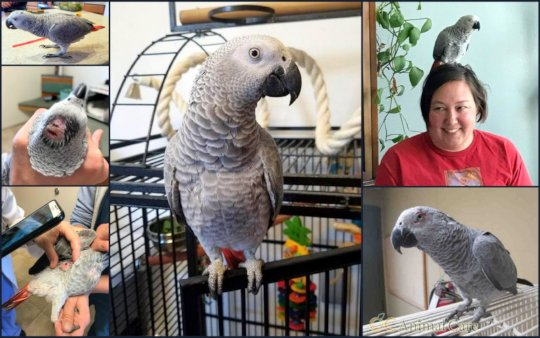 Luna, African Grey parrot, and her new Mom