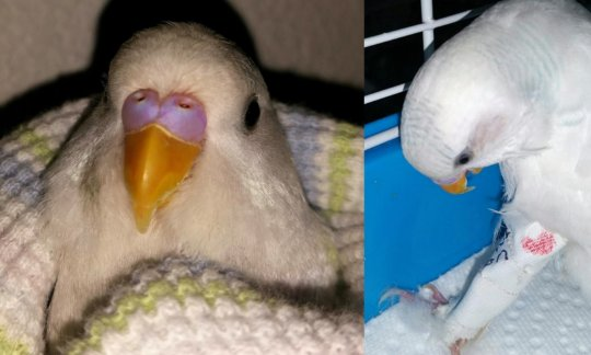 Luna (parakeet). Femur broken in 2 places.