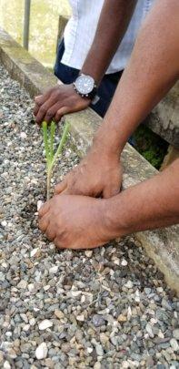 Planting seedlings in clean grow bed.