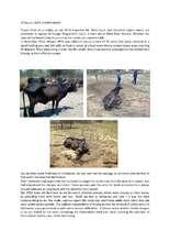 Cattle rescue by SPCA (PDF)
