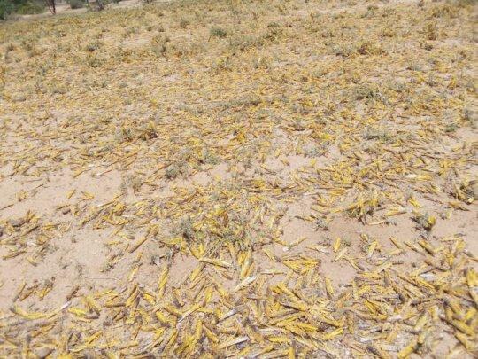 Locusts in Marsabit, Kenya. Photo: Concern (2020).